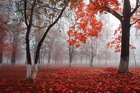 Trees with red leaves