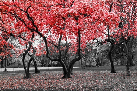Red blooming trees