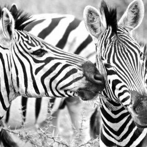 Πίνακας ζωγραφικής Zebras