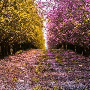 Πίνακας ζωγραφικής Yellow and pink flowering trees