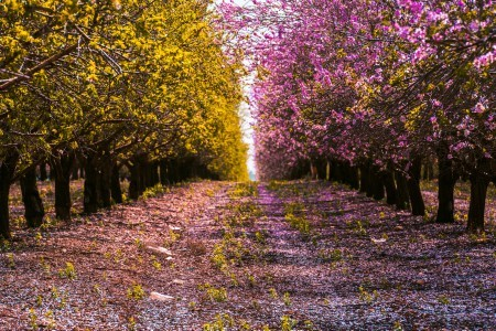 Yellow and pink flowering trees