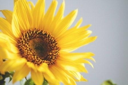 Πίνακας ζωγραφικής Sunflower