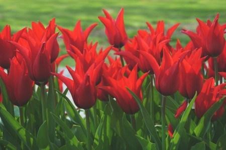 Πίνακας ζωγραφικής Red tulips