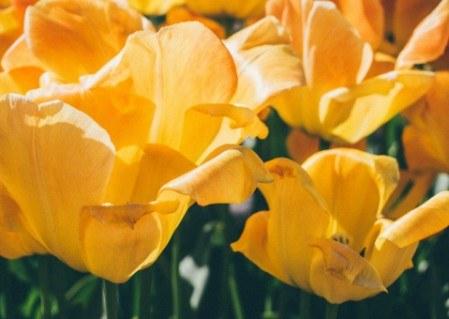 Πίνακας ζωγραφικής Yellow tulips