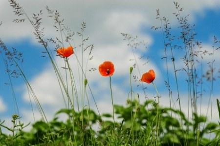 Πίνακας ζωγραφικής Poppies