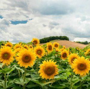 Field of Sunflowers I