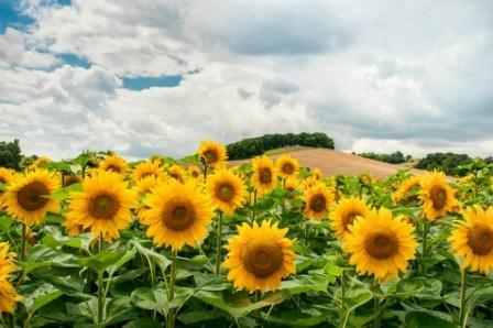 Πίνακας ζωγραφικής Field of Sunflowers I