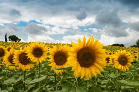 Πίνακας ζωγραφικής Field of Sunflowers II