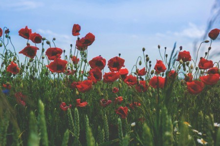 Πίνακας ζωγραφικής Red Poppies II