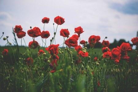 Πίνακας ζωγραφικής Red Poppies III