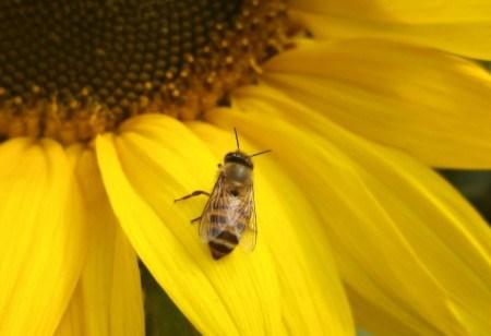 Πίνακας ζωγραφικής Bee on the sunflower