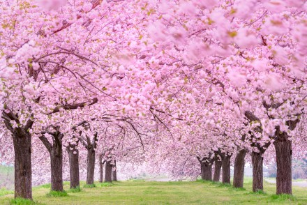 Pink trees in the row